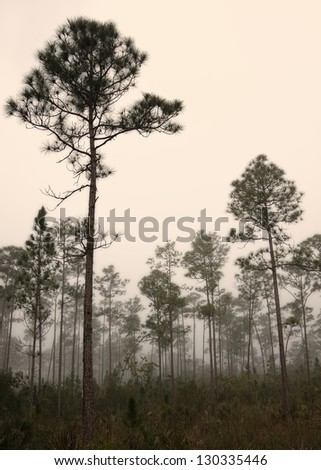 Beautiful landscape in the early morning fog with Slash pine (Pinus elliottii) and in the Florida Everglades National Park. - stock photo