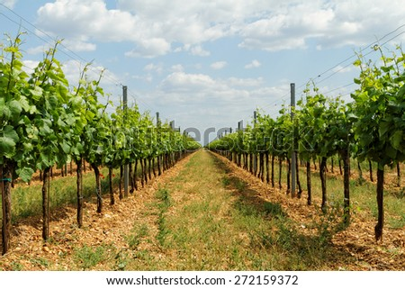 Beautiful landscape in the Tokay grapes - Hungary  - stock photo
