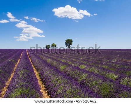 Beautiful landscape of blooming lavender field with sunny sky, lonely trees uphill on horizon. Provence, France, Europe.