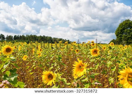 Beautiful landscape of many fresh bright yellow sunflowers on blue cloudy sky and windy weather natural background, horizontal picture