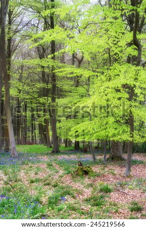 Beautiful landscape of Spring bluebells in forest - stock photo