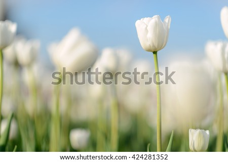 Beautiful landscape of white tulip at middle of spring. Landscape flowers. Landscape view. Sunny landscape. Landscape tulips under sunlight landscape. Landscape. Landscape Garden landscape background - stock photo