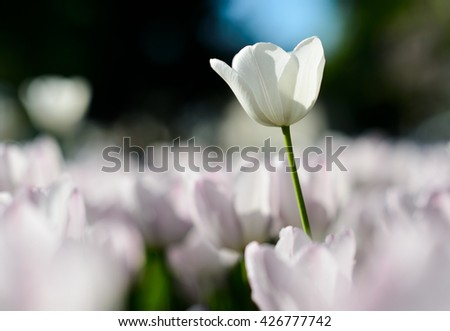 Beautiful landscape of white tulip at middle of spring. Landscape tulips under sunlight landscape. Landscape flowers. Landscape view. Sunny landscape. Landscape. Garden landscape background - stock photo