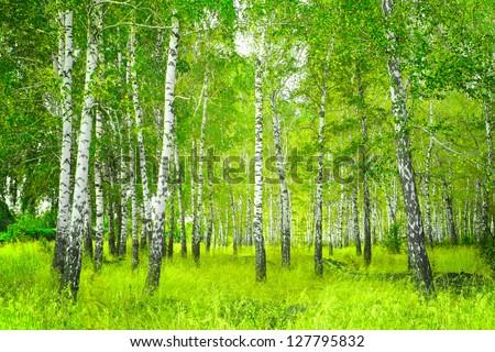Beautiful landscape - summer birchwood - stock photo