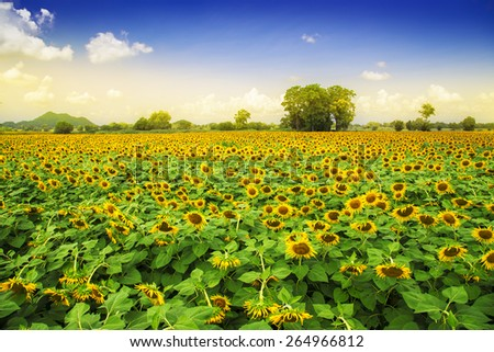 Beautiful landscape sunflower field and blue sky. this breed for produce oil. paradise at Lopburi Thailand - stock photo