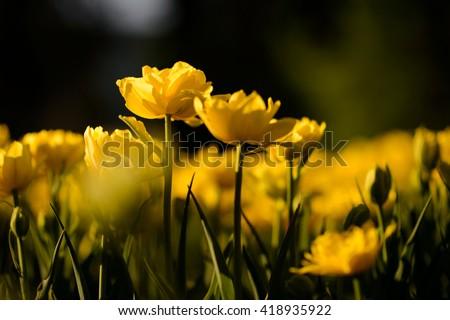 Beautiful landscape view of yellow tulip at middle of spring. Amazing picture landscape tulips under sunlight landscape. Landscape flowers.. Garden landscape background - stock photo
