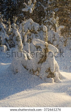 Beautiful landscape winter snowy forest, the rays of the sun through a snow storm.