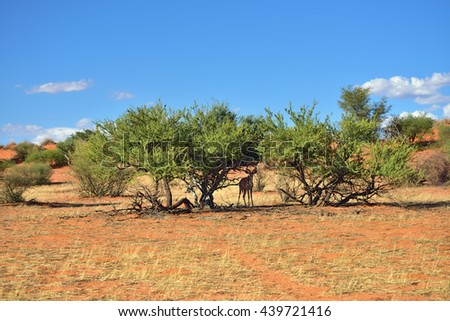 Beautiful landscape with acacia bush and hidden antelope in the Kalahari desert at evening light, Namibia, Africa - stock photo