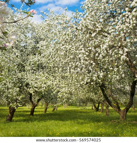 Beautiful Landscape Blossoming Apple Garden Spring Stock Photo ...