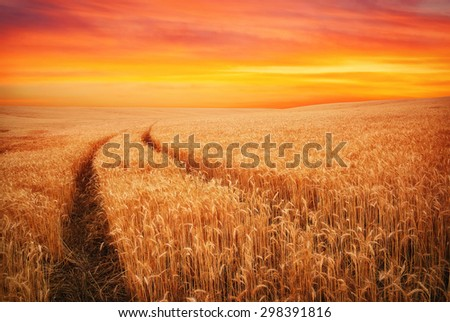 Beautiful landscape with field of wheat and sunset sky. Meadow of wheat.  - stock photo