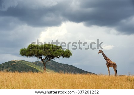 Beautiful landscape with nobody tree and gireffe  in Africa - stock photo