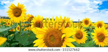 Beautiful landscape with sunflower field under cloudy blue sky  - stock photo