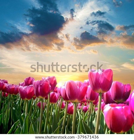 Beautiful landscape with tulips against the sky at dawn (natural background, relaxation, meditation, anti-stress - concept) - stock photo