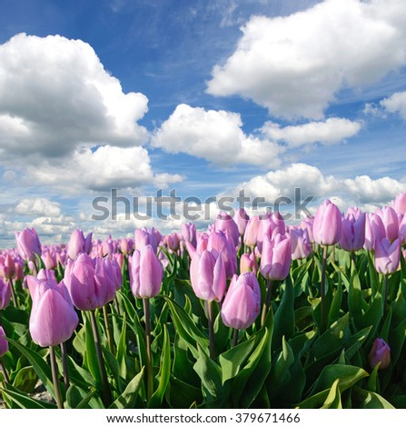 Beautiful landscape with tulips against the sky with clouds (natural background, relaxation, meditation, anti-stress - concept)