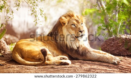 Beautiful large African Lion laying down with trees in the background - stock photo