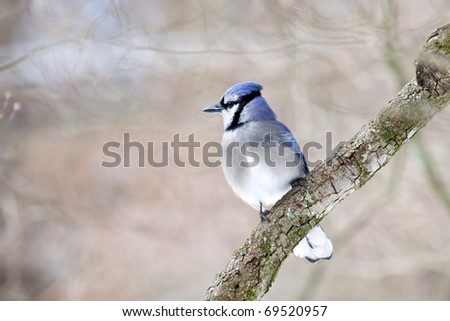Beautiful large Bluejay bird on limb with natural background - stock photo