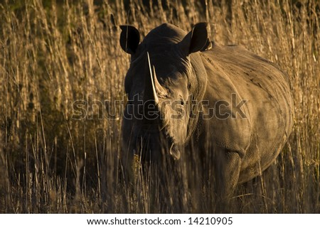Beautiful large horned African Rhino taken at sunset looking directly at camera - stock photo