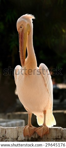 Beautiful large Pelican being backlit by the sun - stock photo