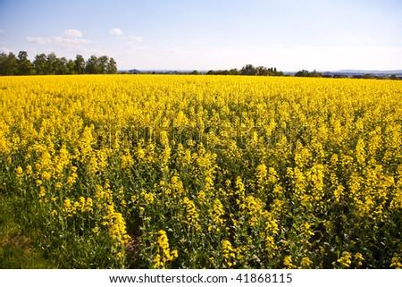 beautiful large rapeseed fields in nice landscape - stock photo