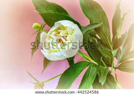 Beautiful large white peony with green leaves on a pink background.