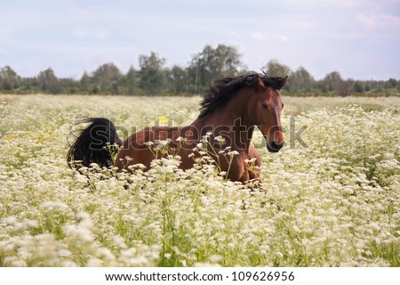Beautiful latvian bay horse galloping at the field with flowers - stock photo