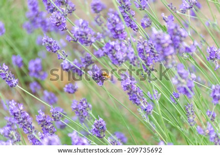 beautiful lavender closeup with a bee in Hokkaido,Japan in  Tomita farm