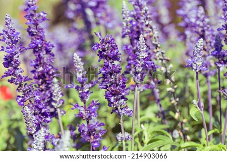 Beautiful Lavender Flower Field. Growing and Blooming.with vintage filter - stock photo