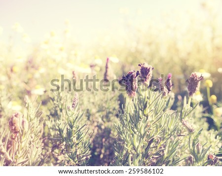 Beautiful lavender flower spring background in the countryside: Vintage and blur style. - stock photo