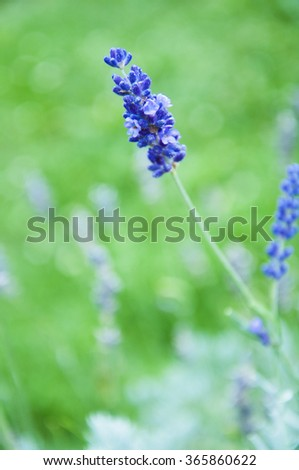 Beautiful lavender flowers in the garden
