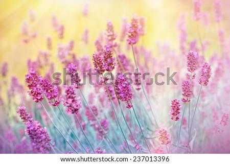 Beautiful lavender in flower garden - stock photo
