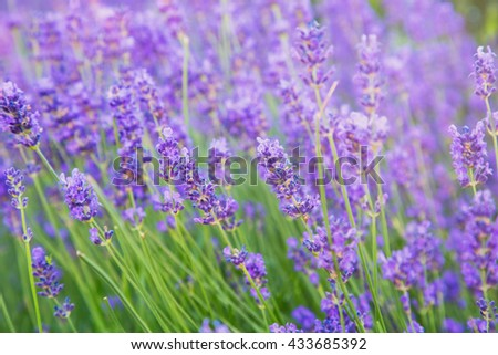 Beautiful lavender in full bloom - stock photo