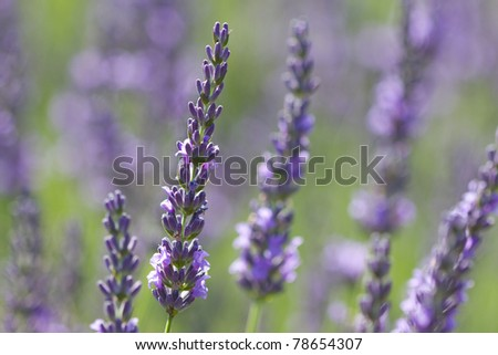 beautiful lavenders in a field - stock photo