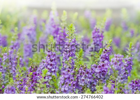 Beautiful lavenders in the garden, Purple flowers in the garden for background or wallpaper - stock photo