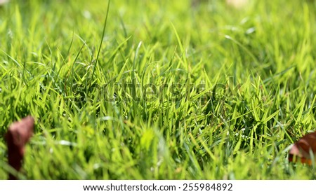 beautiful lawn green grass photographed close up - stock photo