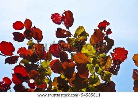 beautiful leaves from a birch in red colors - stock photo
