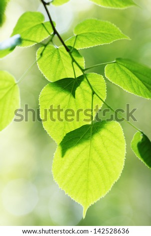 Beautiful leaves of linden close-up at sunny day