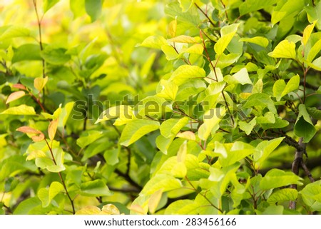 beautiful leaves on the tree in nature - stock photo