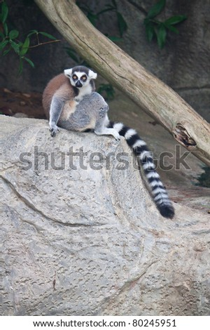 Beautiful lemur