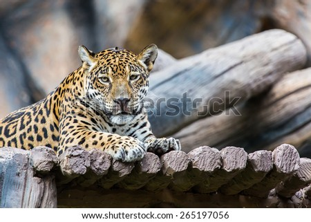 beautiful leopard. - stock photo