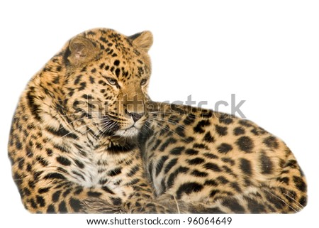 Beautiful leopard cub closeup - isolated on white background