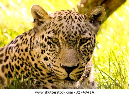 Beautiful leopard in the yellow grass head photo - stock photo