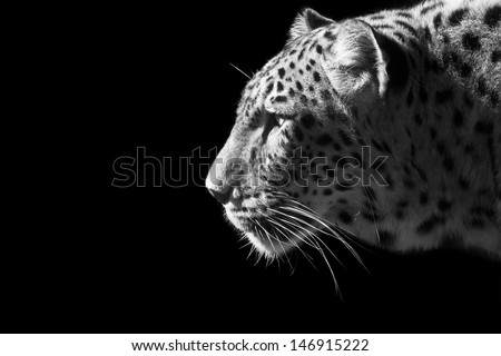 Beautiful leopard portrait in black and white - stock photo