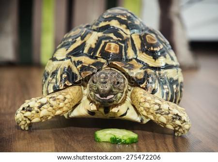 Beautiful Leopard tortoise (Geochelone pardalis) is feeding. Animal theme. - stock photo
