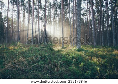 beautiful light beams in forest through trees in misty morning. Vintage photography effect.Retro grainy color film look. - stock photo