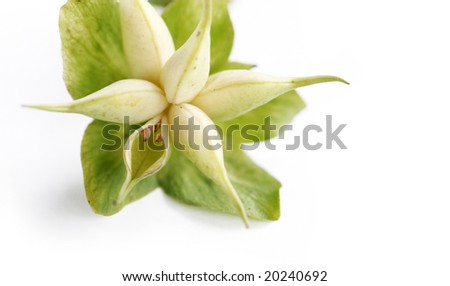 beautiful light flower (christmas rose) against white background