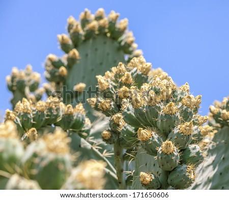 Beautiful light orange flowers of cactus, shallow field of depth. - stock photo
