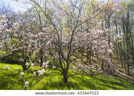 Beautiful light pink magnolia flowering tree stock photo edit now beautiful light pink magnolia flowering tree in forested area and grassy clearing sun rays shining mightylinksfo