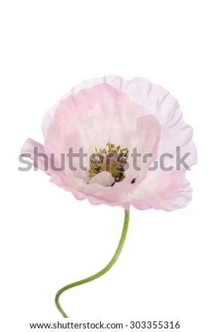 beautiful light pink poppy isolated on white - stock photo
