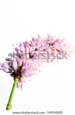 beautiful light purple flowers against white background