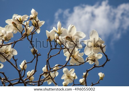 Beautiful light white magnolia flowers on blue sky background.